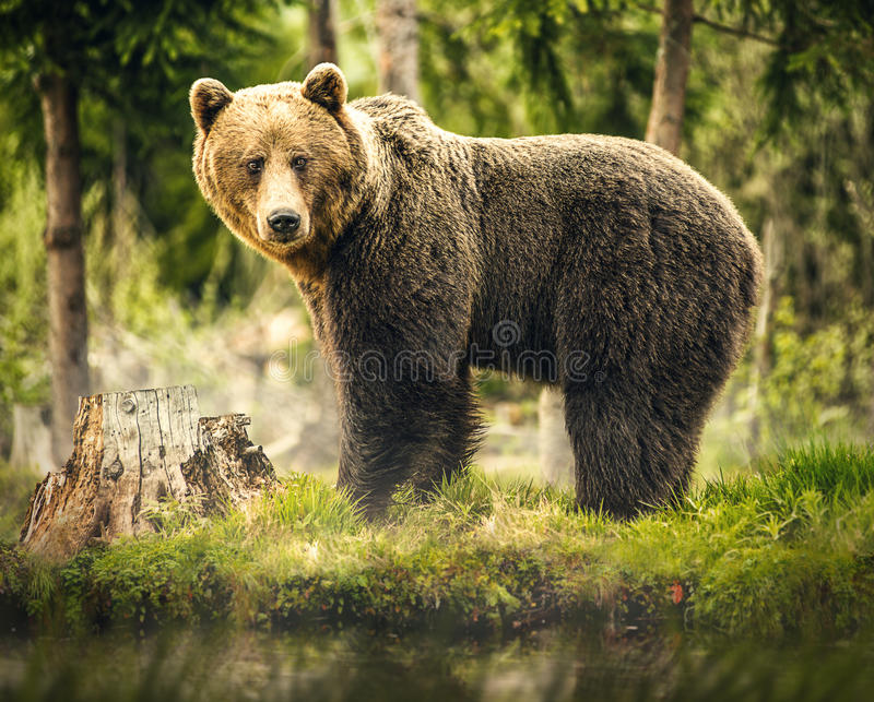 Bear in nature, wildlife, brown bear in forest, meeting with bear, big bear, animal in nature.  royalty free stock photo