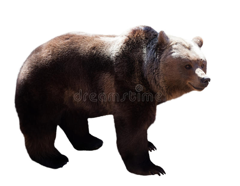 Bear over white. Standing adult bear over white stock photography