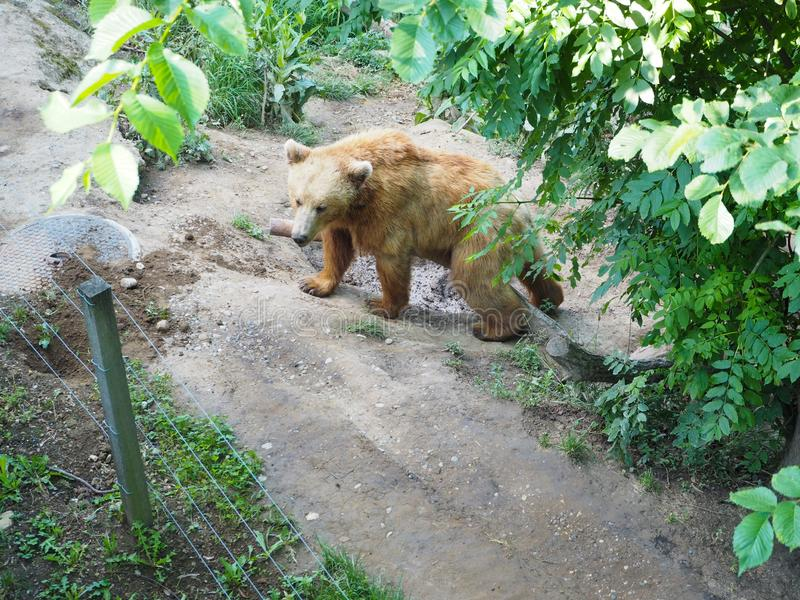 Bear in bear park at Bern Switzerland. Pit brown nature symbol natural travel outdoor animal tourism europe wild wildlife mammal european big famous fur strong royalty free stock photo