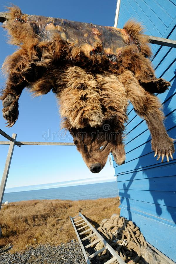 Bear pelt hanging in Inuit community, Alaska, US. Grizzly bear pelt (aka skin or hide) hanging on blue hunters building in the northernmost town in Alaska stock images