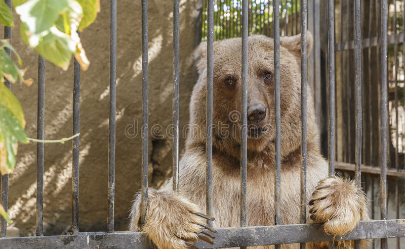 Bear posing behind bars in a zoo stock image