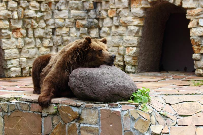 Bear relaxing in zoo in augsburg. With Stone wall in Background royalty free stock photography