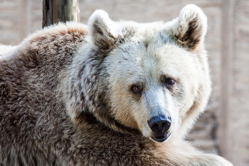 Download Bear Royalty Free Stock Photography - Image: 33299037