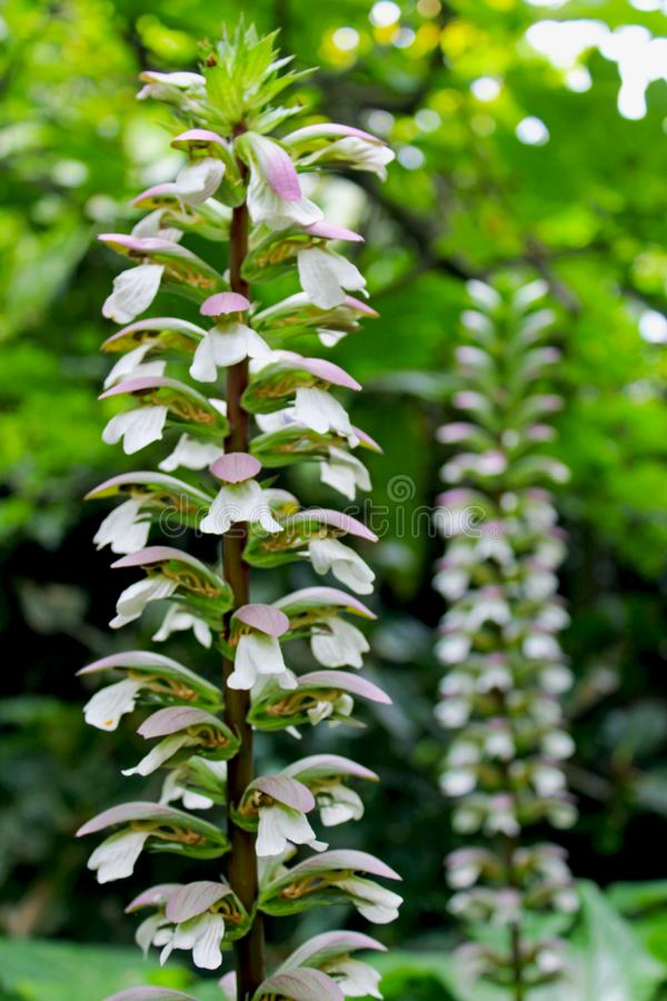 Bear`s breeches, sea dock, bearsfoot, oyster plant, Acanthus mollis. Acanthus mollis, Bear`s breeches, sea dock, bearsfoot or oyster plant is a herbaceous stock images