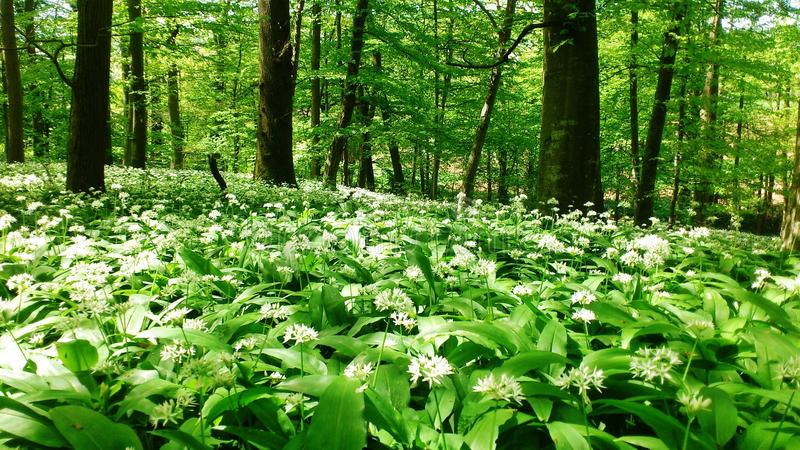 Bear`s garlic in a forrest in spring. Springtime in Germany: The ground in the wood is covered with bear`s garlic. Near Nürtingen, Baden-Württemberg stock photos