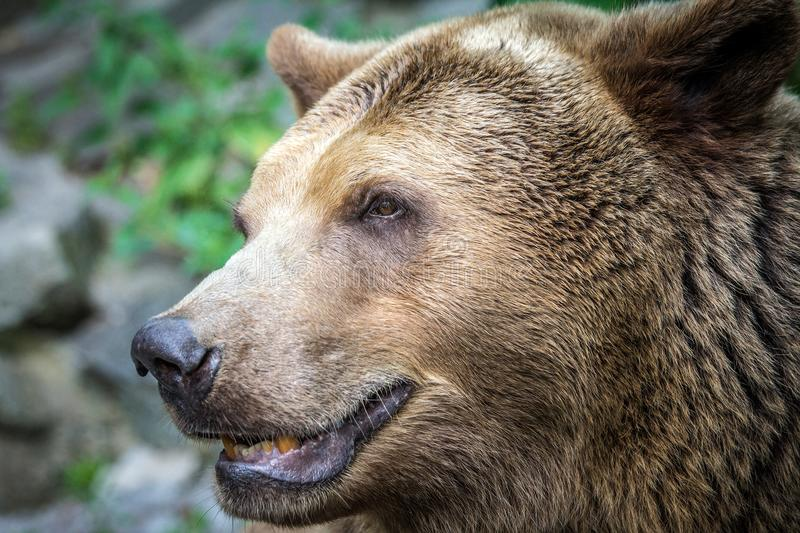Bear`s head in profile. stock photography