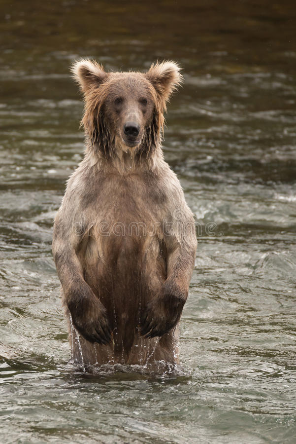 Bear standing on hind legs in river stock photos