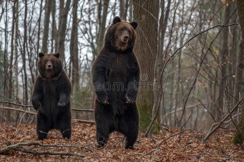 Bear standing on his hind legs in the autumn forest royalty free stock photography