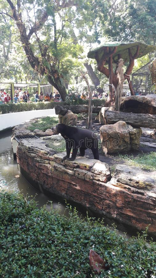 Bear in surabaya zoo. Very sad. The condition of animal in Surabaya zoo royalty free stock image