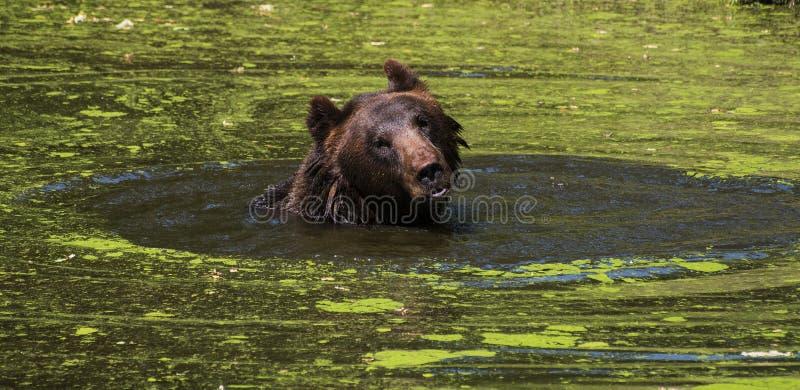 Bear swimming royalty free stock photo