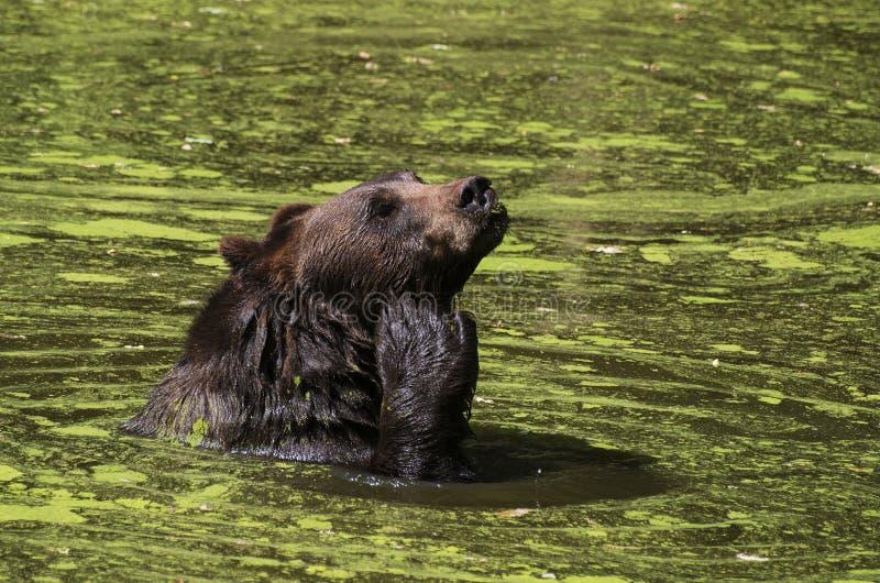 Bear swimming royalty free stock image