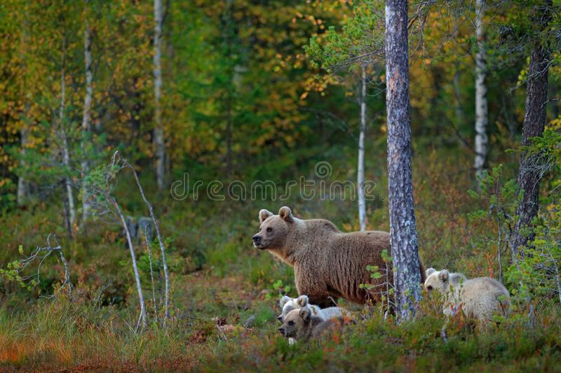 Bear with three little cub, two grey and one dark brown. Bear family in orange autumn. Pups with mother. Beautiful animals hidden. In the forest. Dangerous royalty free stock images