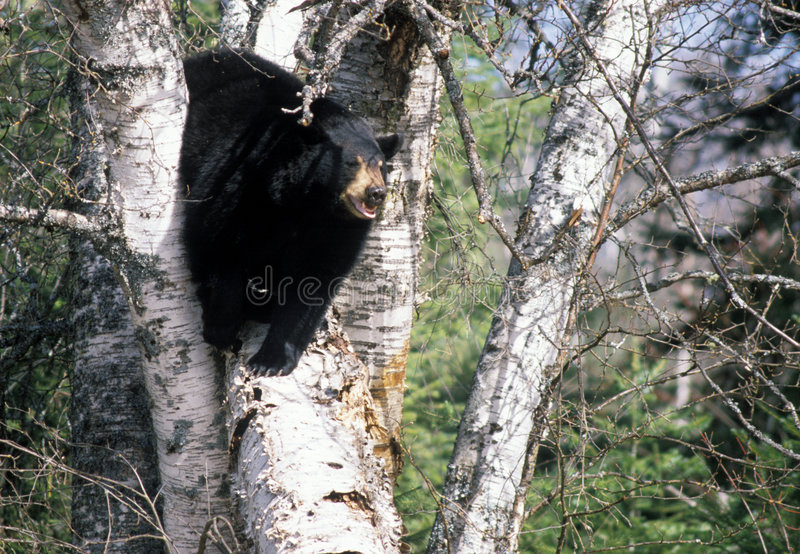 Bear Tree stock photography