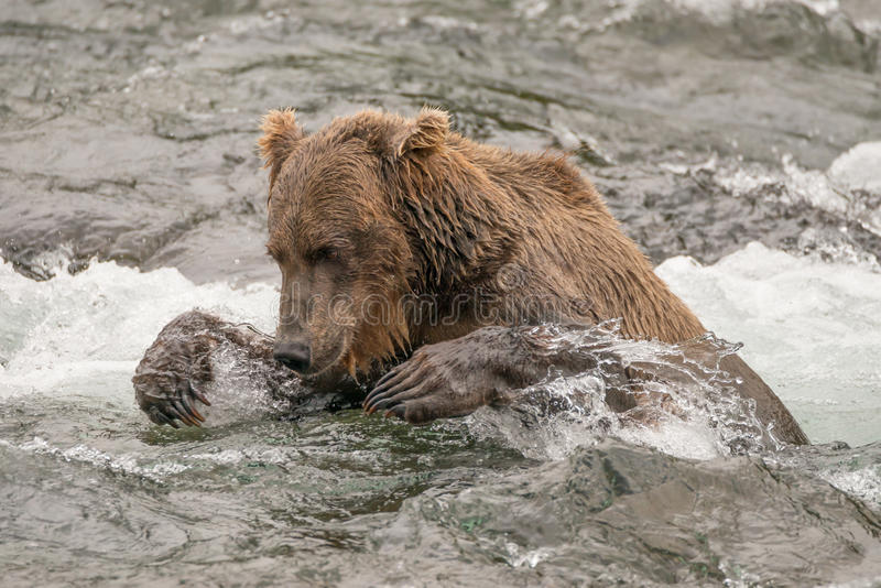 Bear tries to catch salmon in river stock photography