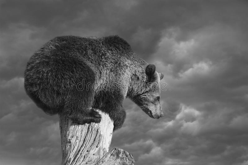 Bear squatting on tree end before explain Bear market essence. On the background of dramatic sky bear squatting on tree stem end thinking how to get down. This royalty free stock image