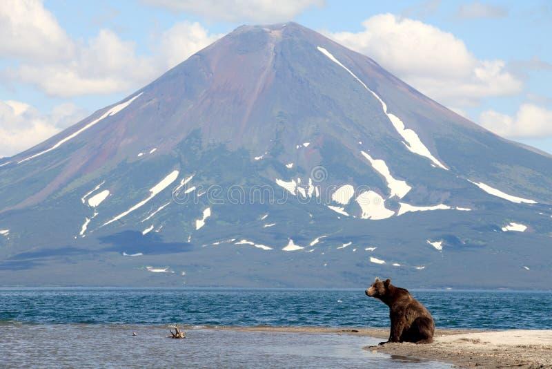 Bear and a volcano. Kamchatka, Kronotsky reserve stock image