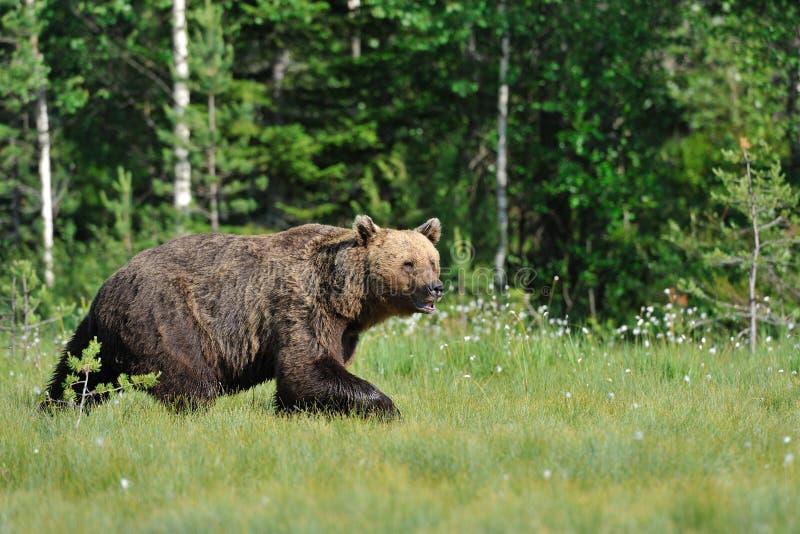Download Bear walking stock image. Image of arctos, evening, ursus - 21872073