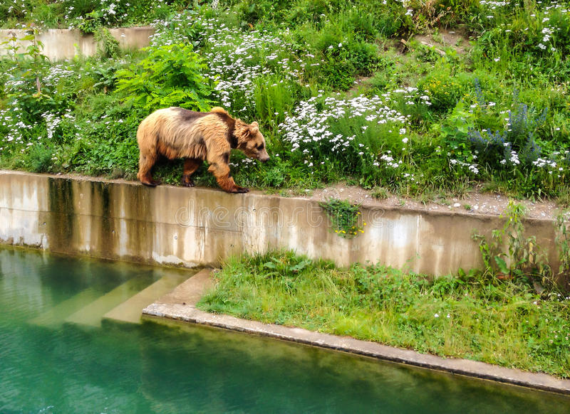 A Bear is walking along edge of pool in Bern Bear Pit Barengraben in Bern Bear Park, Berne, Switzerland, Europe. Bear is a symbol of both the city and stock images