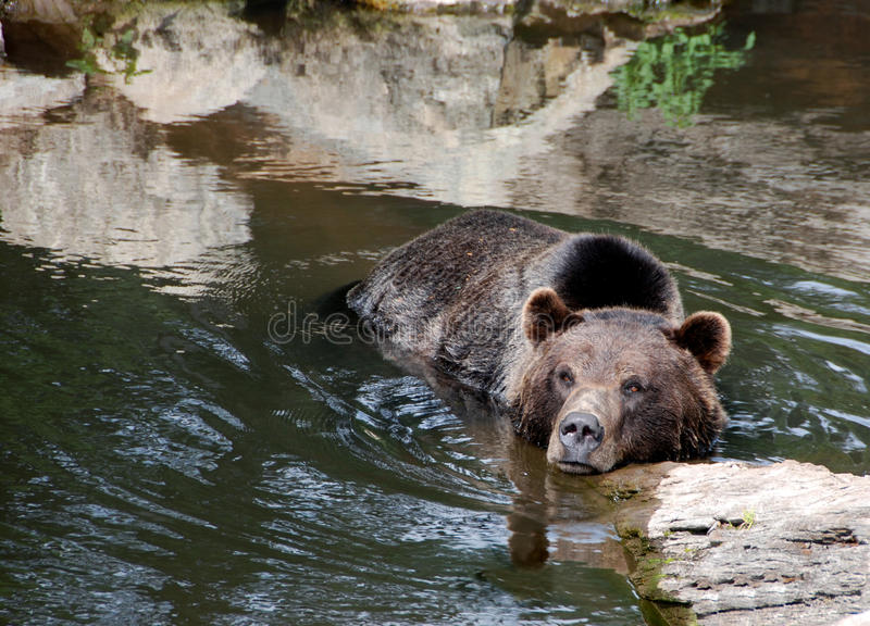 Bear In The Water royalty free stock images