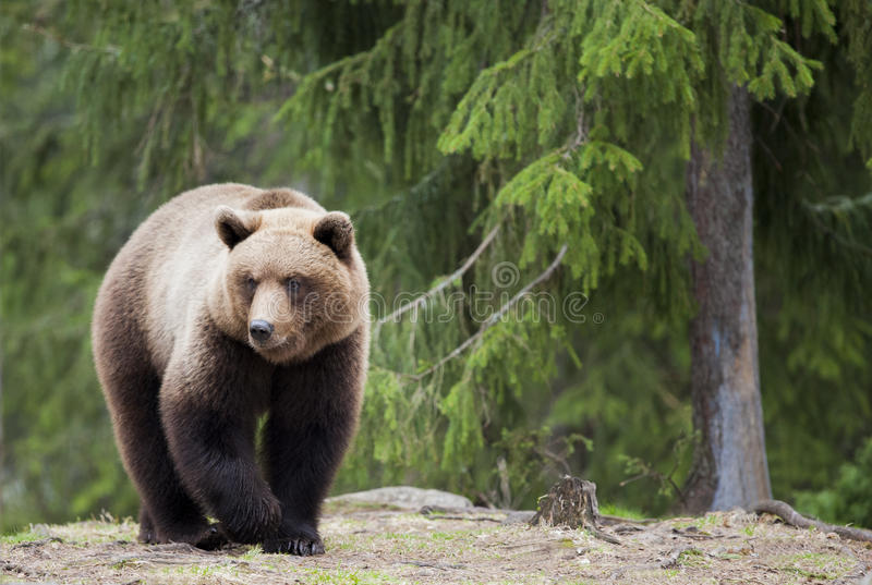 A bear in the woods stock photo