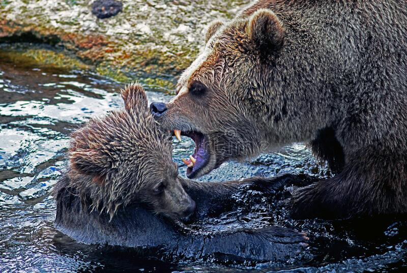 Bear With Young Cub In Fight Free Public Domain Cc0 Image