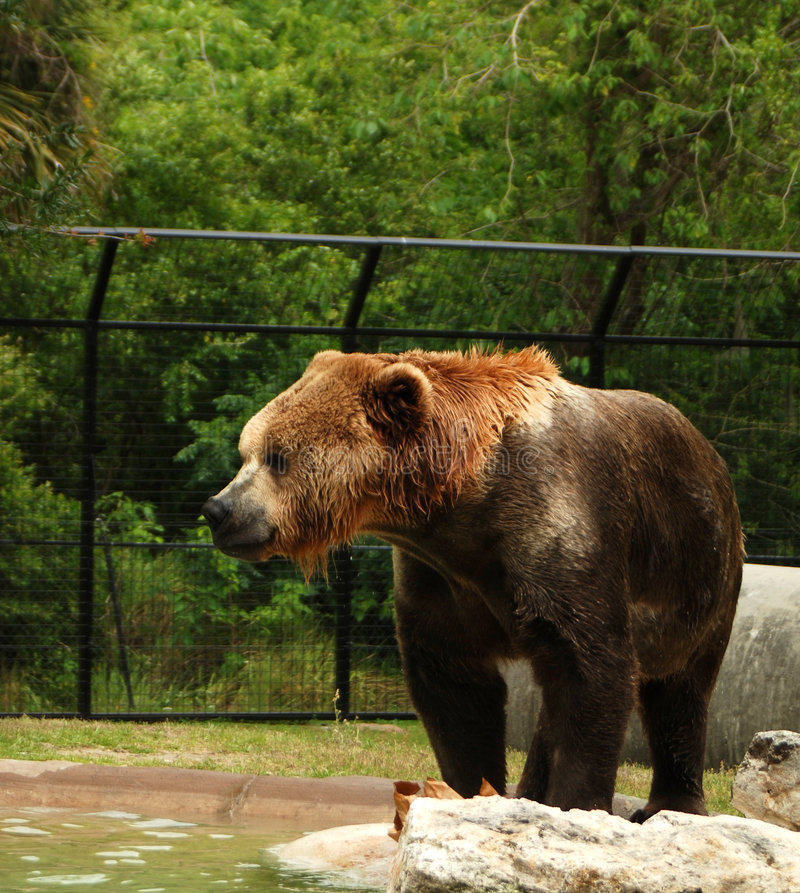 Bear in a Zoo stock image