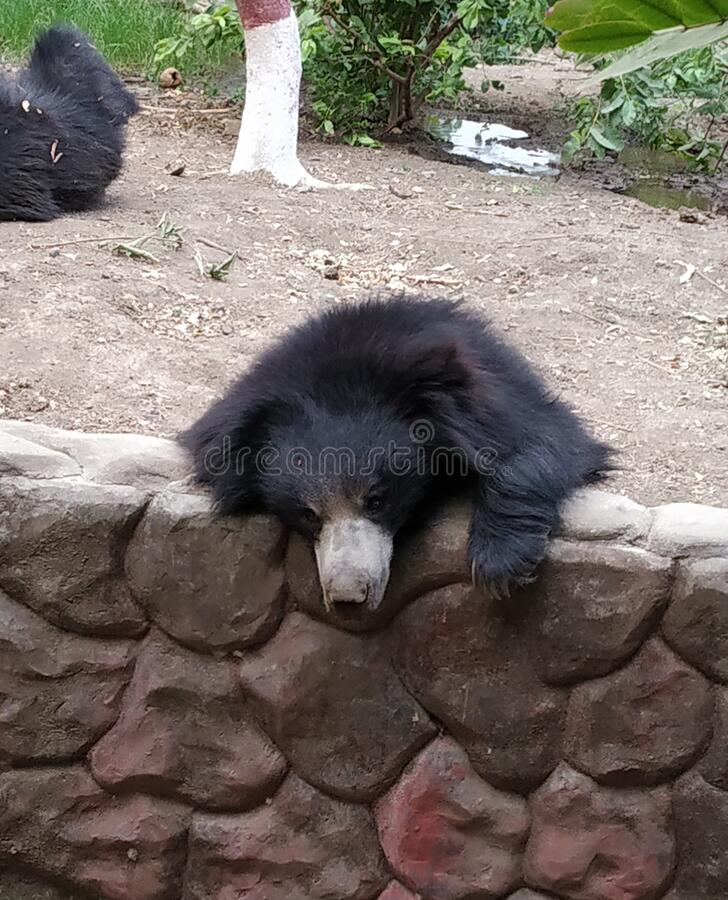 A bear in a zoo in indore madhya-pradesh  INDIA stock photos