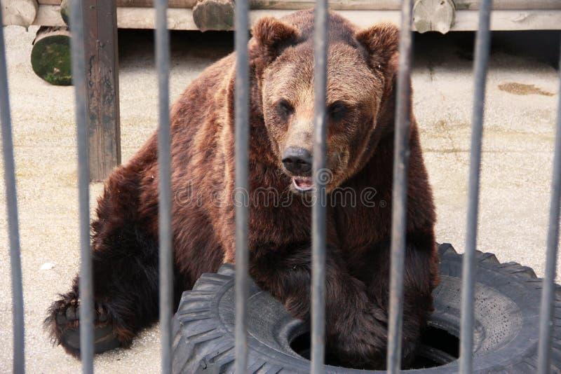 Bear at the zoo royalty free stock photo