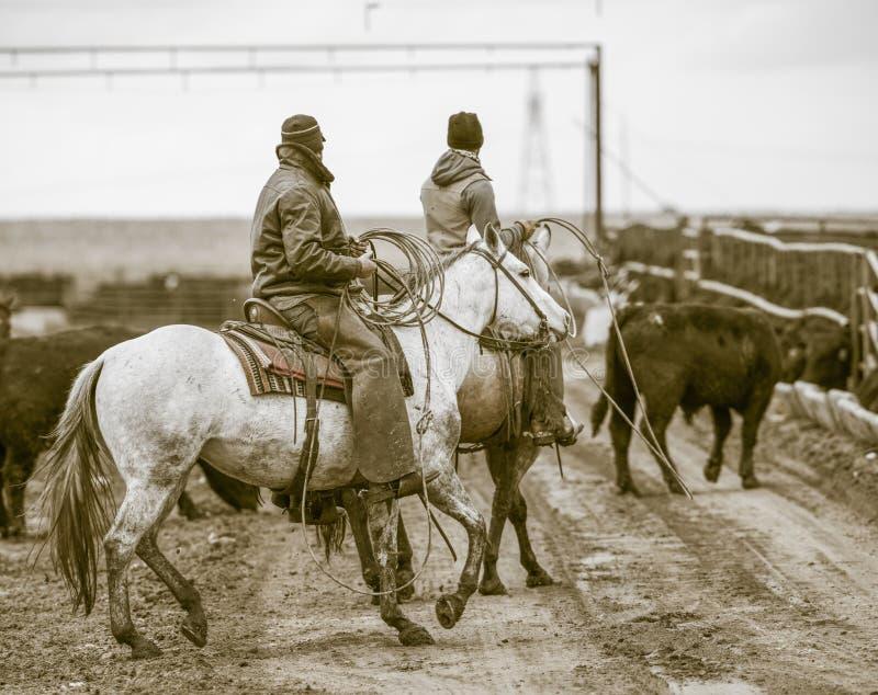 Bearbeiten der Futterration Amerikanische Cowboys stockfoto