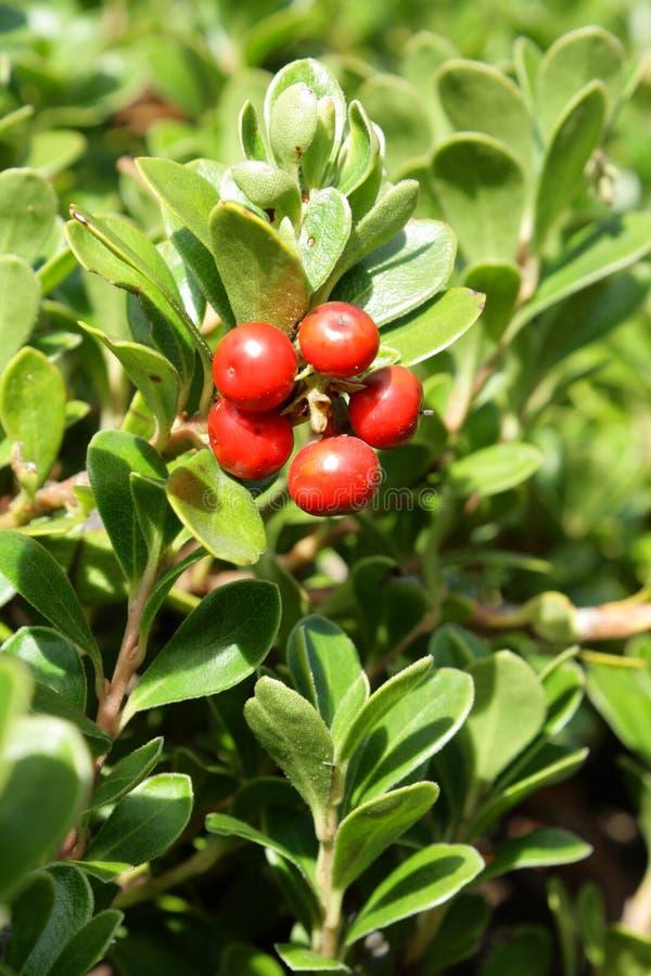 Bearberry- eller kinnikinnick- eller pinematmanzanita royaltyfri foto