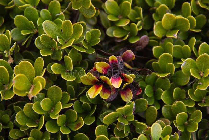 Bearberry liście i roślina zdjęcia royalty free