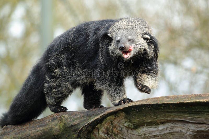 Bearcat стоковое изображение