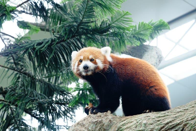 Bearcat стоковое фото rf