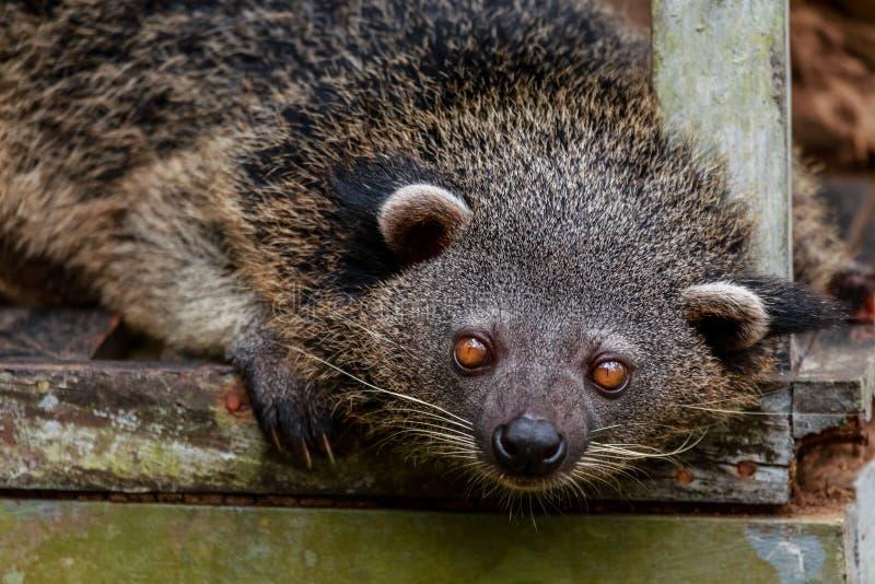 Bearcat Binturong oder des philipino, der neugierig, Palawan, Phili schaut lizenzfreies stockfoto