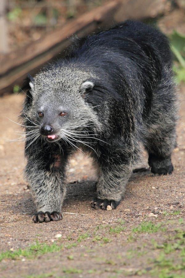 Bearcat de Palawan imagens de stock royalty free