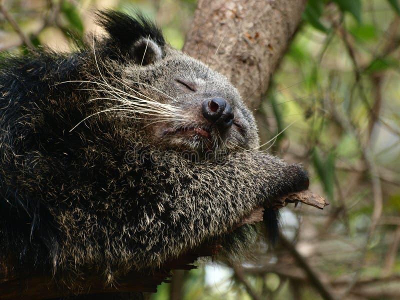 Bearcat do sono fotos de stock royalty free