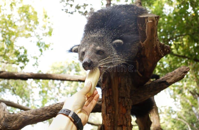 Bearcat na drzewie zdjęcie stock