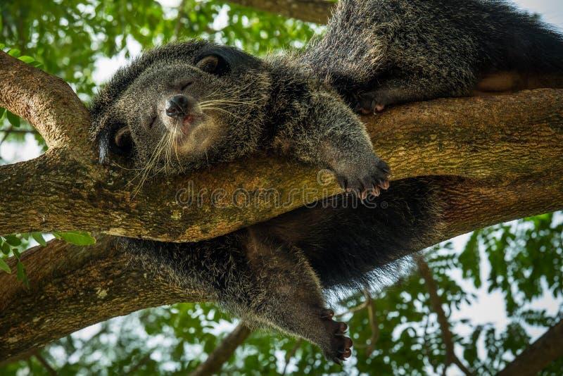 Bearcat que dorme em springday imagem de stock royalty free