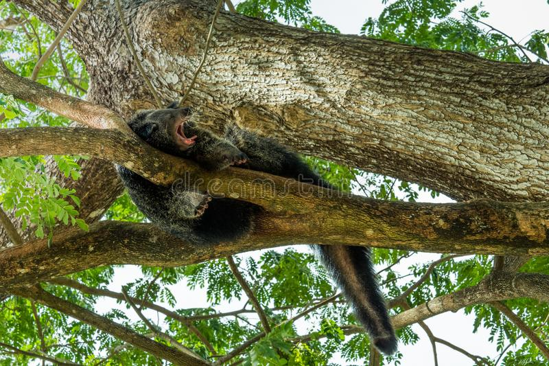 Bearcat que dorme em springday fotografia de stock royalty free