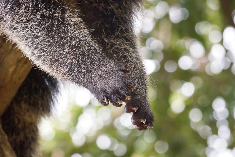 Bearcat ` s łapa fotografia stock