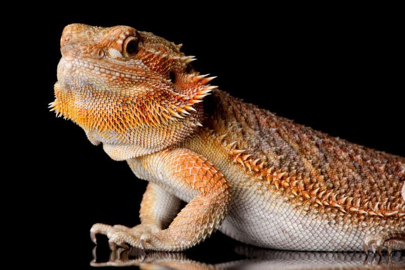 Bearded Agama lizard
