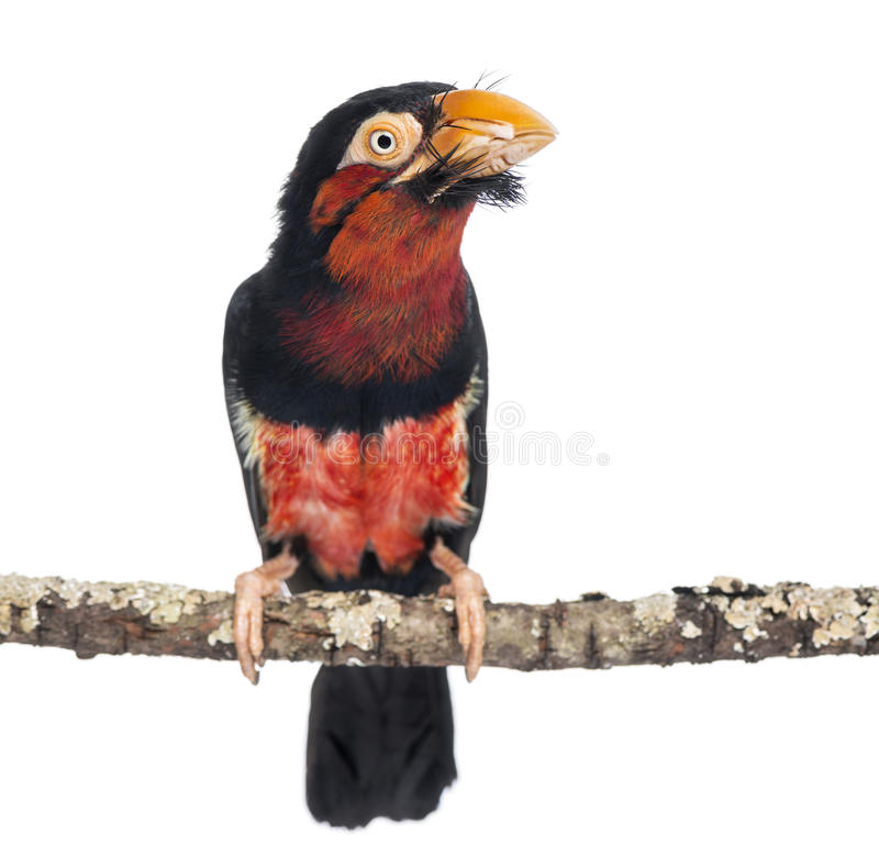 Bearded Barbet On A Branch Stock Photography