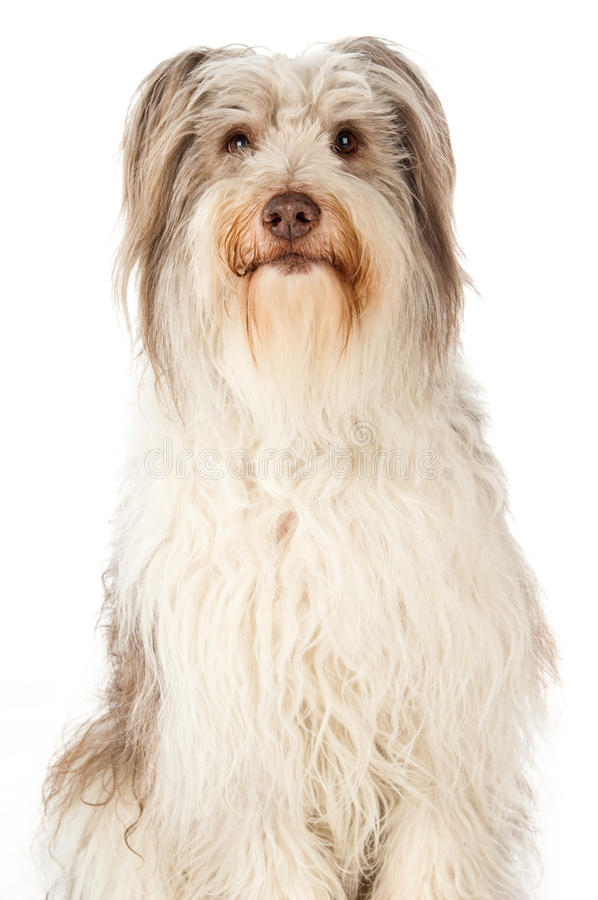 Bearded Border Collie sitting stock photography