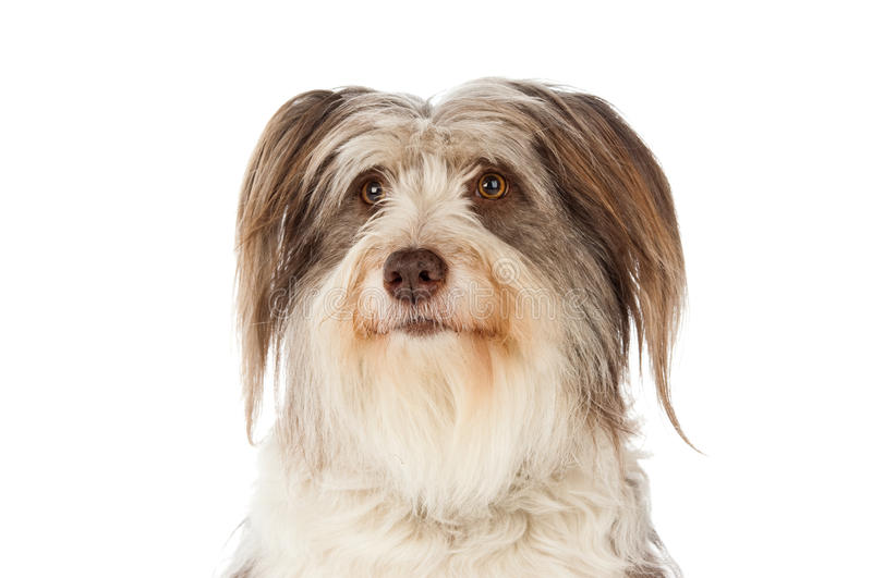 Bearded Border Collie sitting stock images