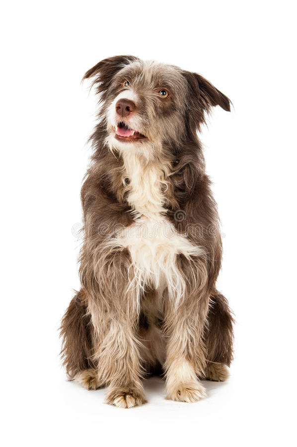 Bearded Border Collie sitting royalty free stock photo
