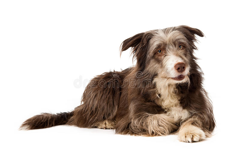 Bearded Border Collie sitting stock image