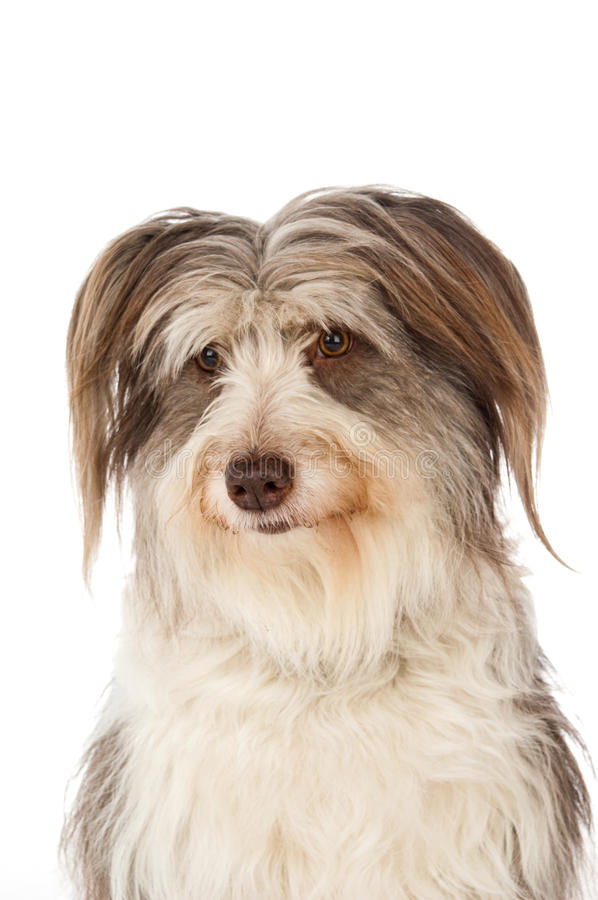 Bearded Border Collie sitting royalty free stock images