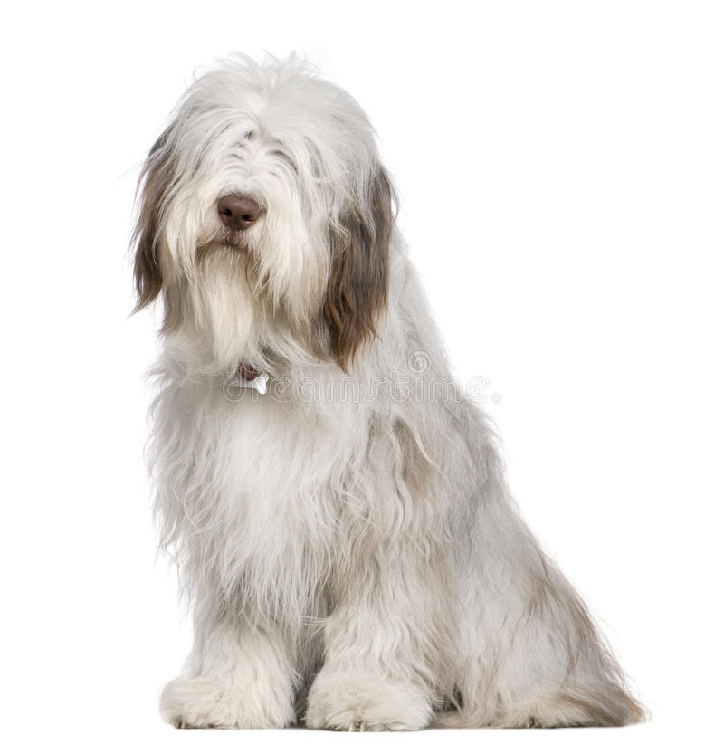 Bearded Collie, 1 year old, sitting stock images