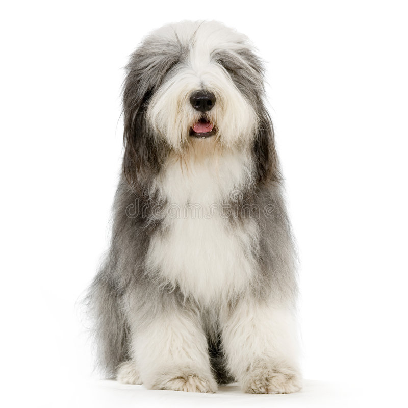 Bearded Collie stock photo