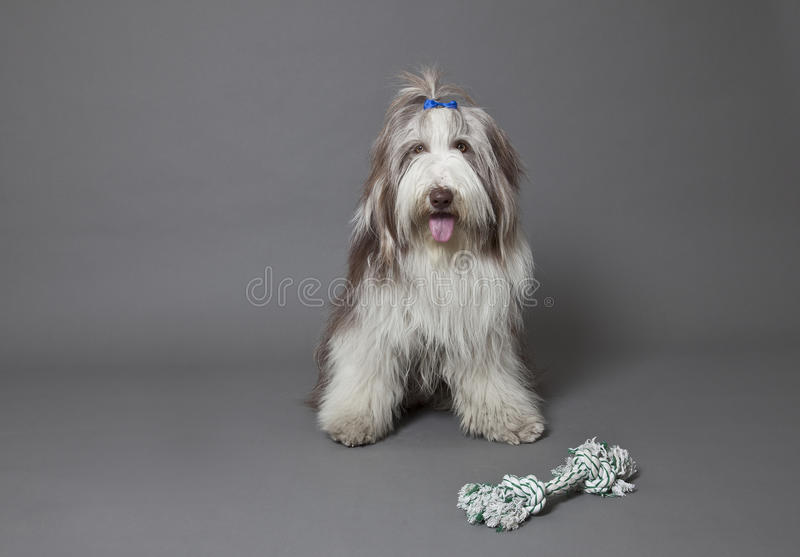Download Bearded collie stock image. Image of gray, breed, pets - 26334103